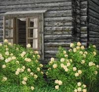 Juhannusruusut (Midsummer roses) 105x114