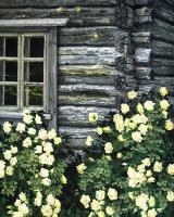 Juhannusruusut (Midsummer roses) 104x84